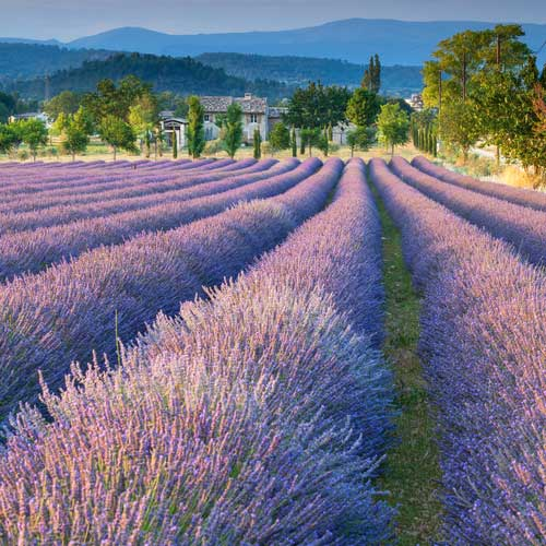 Lavendel-Feld in Frankreich (©GBP27 - depositphotos.com)