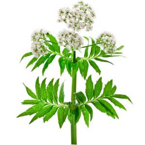 Baldrian-Pflanze