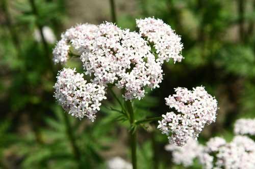 Baldrian-Pflanzen-Blüte