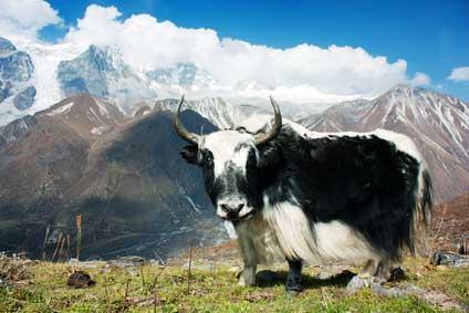 Die Teezubereitung in Tibet (©Prudek/depositphotos.com)