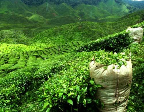 Teefeld in Darjeeling | ©nevarpp - depositphotos.com
