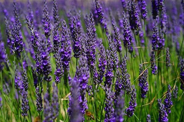 Echter Lavendel in einem Lavendelfeld